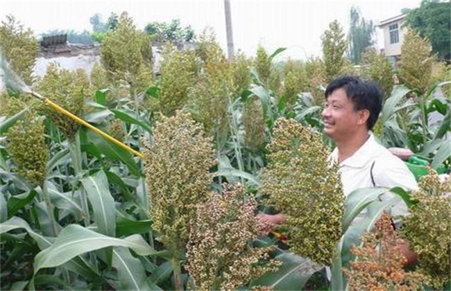 高粱的高产种植技术