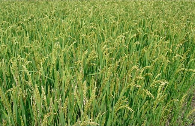 水稻 防治 药害 症状