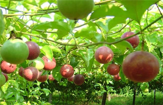 百香果如何种植才能高产