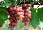 葡萄增产的方法