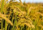 水稻药害的症状与防治