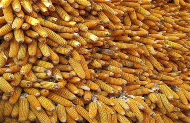 玉米结实不良的原因