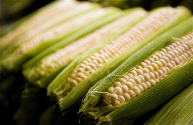 玉米 原因 不结果