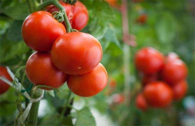 西红柿 方法 防治