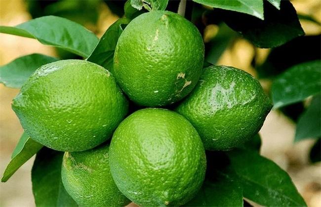 柠檬增产的方法