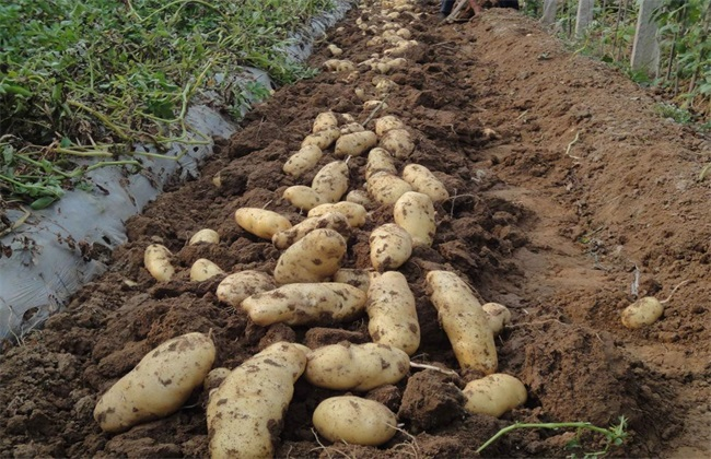 土豆 方法 田间管理