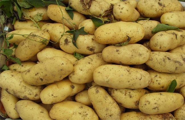 高产  , 土豆,条件
