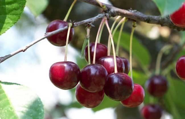 樱桃高产的种植方法