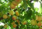 如何提高黄桃的产量