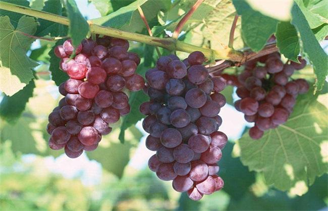 葡萄大小粒的原因及防治