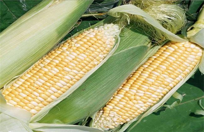 玉米 高温危害 预防