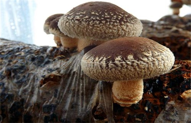 香菇菌丝徒长的原因及防治方法