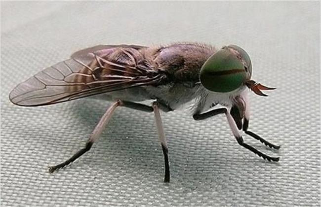 夏季养牛蚊虫多怎么办