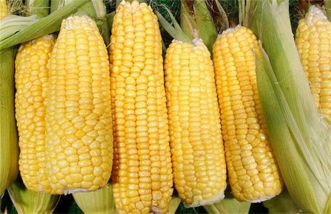 玉米高产的田间管理