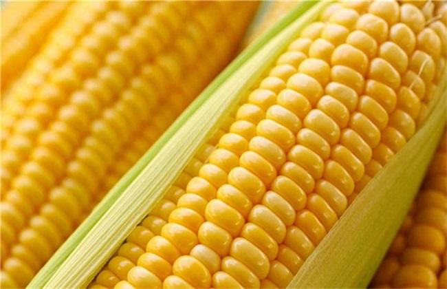 玉米 管理 高产