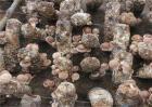 香菇常见病虫害防治方法