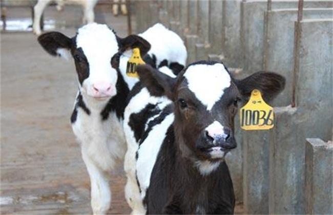 犊牛腹泻的原因和防治方法