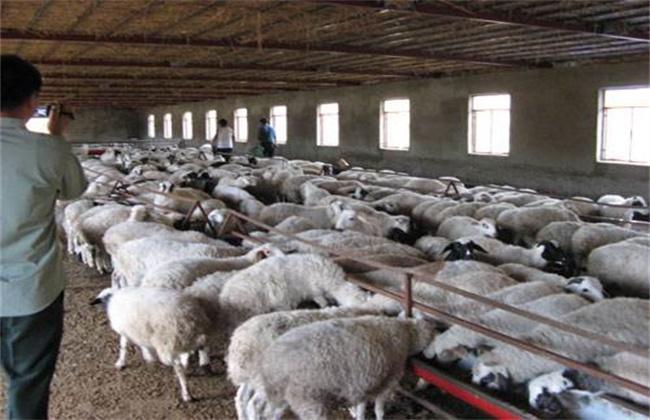羔羊育肥的注意事项