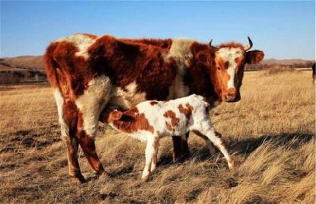 母牛不孕的原因及解决措施