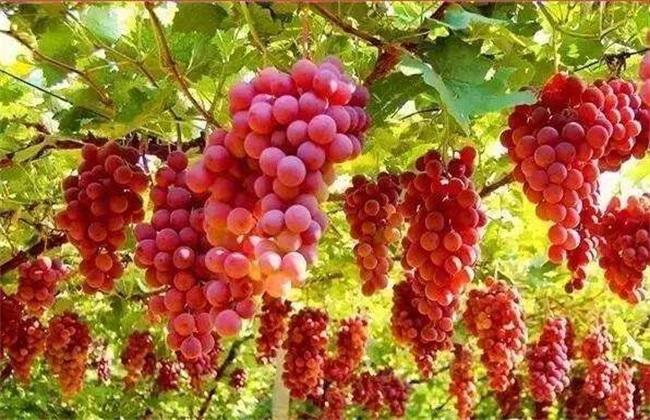 葡萄 原因 软果