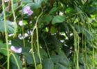 豇豆种植的注意事项