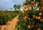 柑橘的园间管理方法