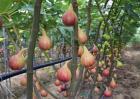 无花果的虫害与防治