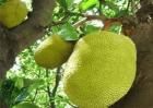 菠萝蜜的田间管理方法