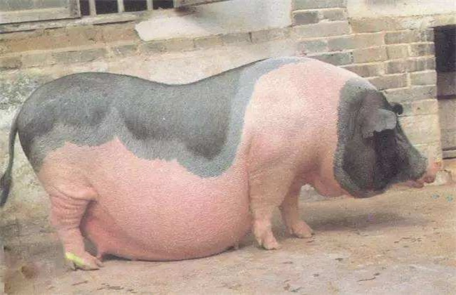 母猪 难产 怎么办