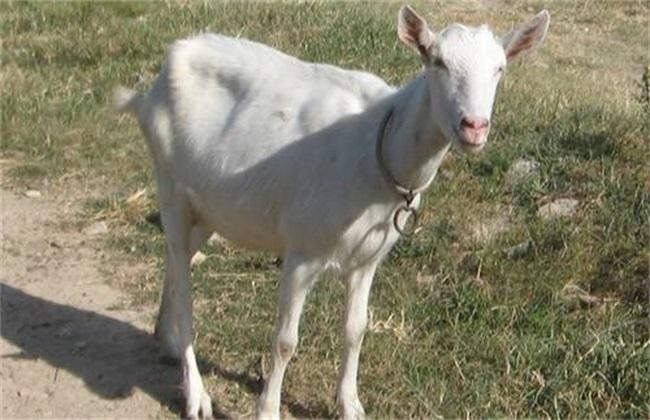 夏季怎样让羊增膘