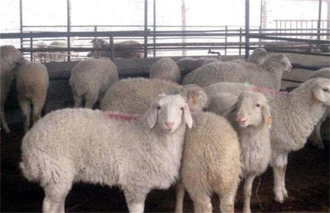 羊 方法 增膘