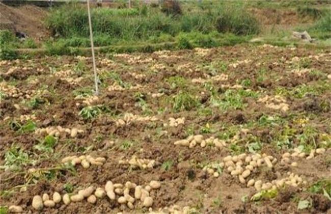 马铃薯腐烂原因
