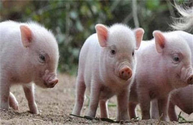 猪 方法 高产