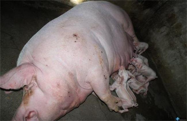 猪 原因 不愿意喂奶