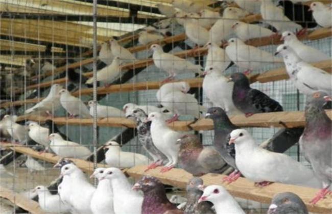 夏季养鸽的注意事项