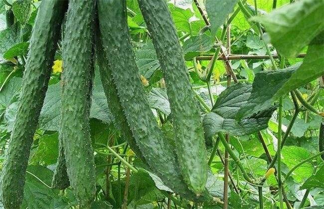 黄瓜,防治,花上有绿色的斑点
