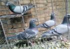 鸽子停止产蛋的原因