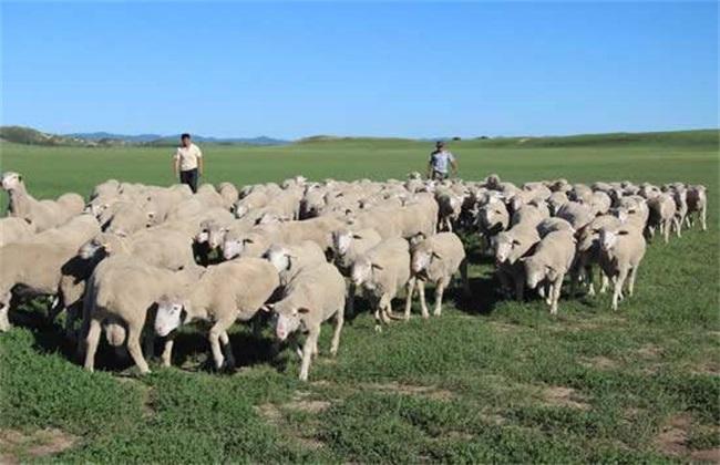 夏季养羊的注意事项