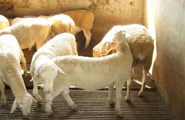 羊 注意事项 夏季