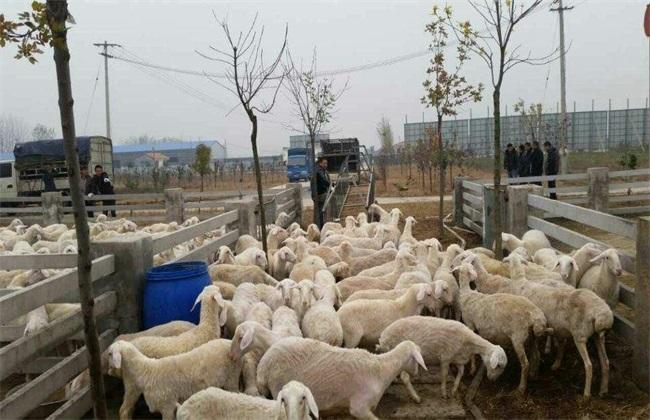 夏季养羊的常见病及防治
