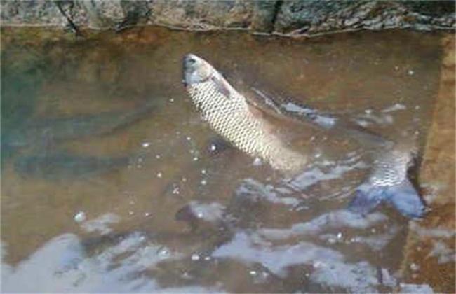 高温时期草鱼的养殖技术