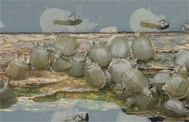 夏季甲鱼养殖注意事项