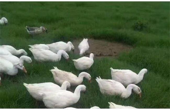 幼鹅 饲养管理 方法