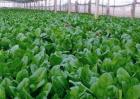 菠菜种植的注意事项