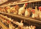 夏季养鸡该注意哪些问题