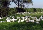 夏季养鸭注意事项