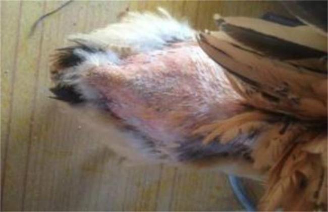 种鸡掉毛的原因及预防措施