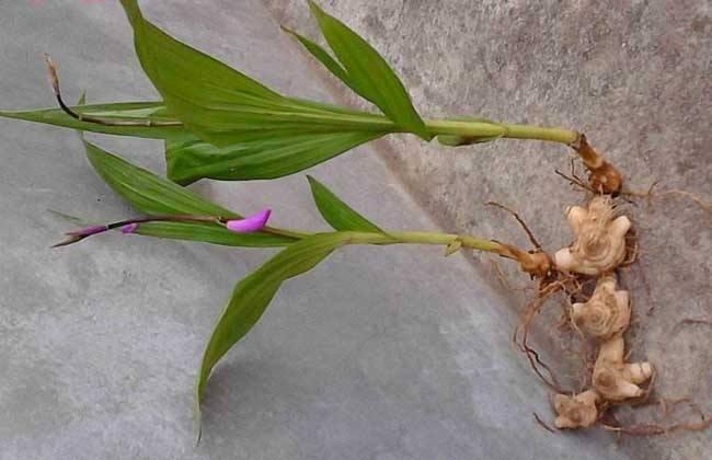 怎样提高白芨种植成活率