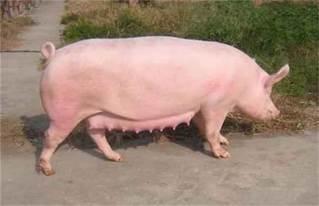 培育新母猪注意事项
