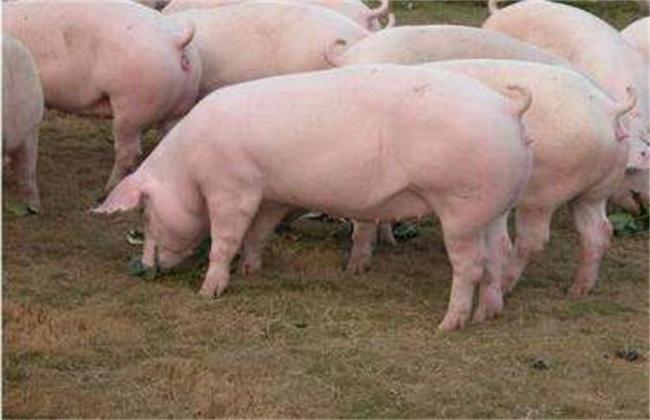 母猪 培育 注意事项
